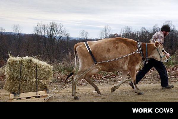 working_bovine_pulling