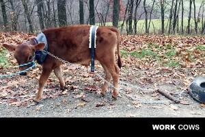 working_steer_training